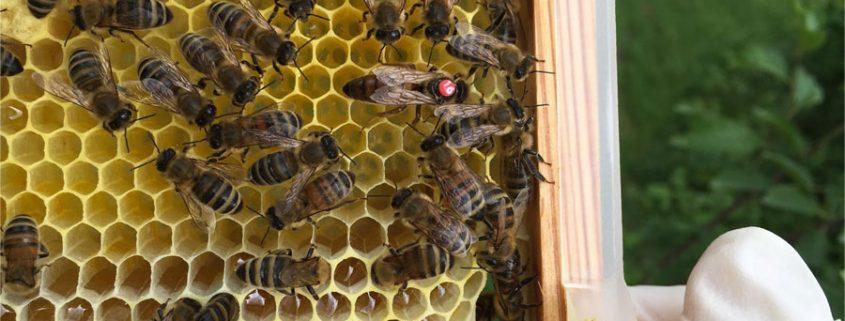 Bienen in Schildgen – Unsere Königin
