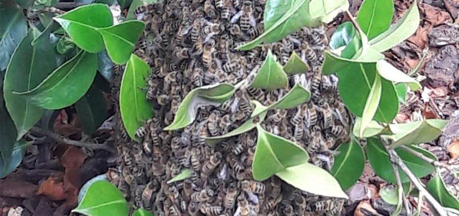 Wilder Bienenschwarm in Schildgen